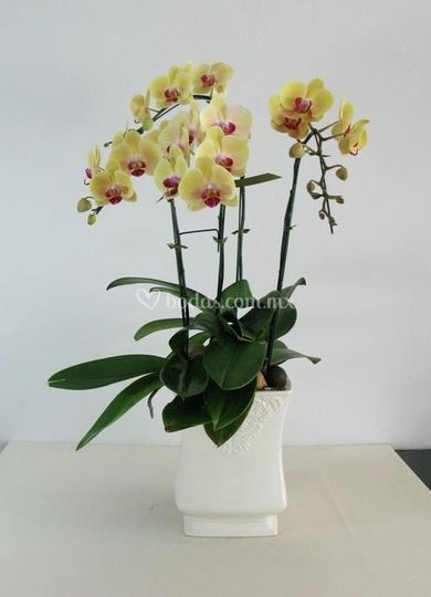Maceta de Phalaenopsis verdes