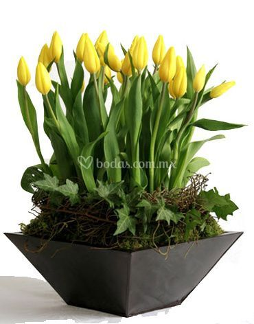 Con tulipanes amarillos
