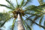 Palmera de Jard�n Ibiza Island