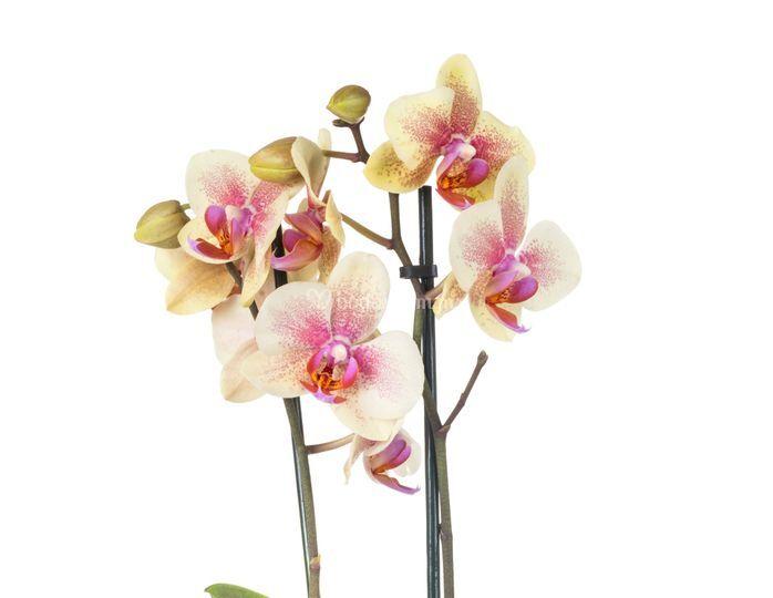 Orquidea Amarilla y Rosa