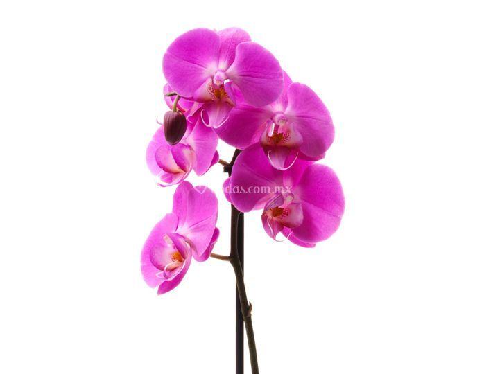 Orquidea Rosa Mexicano