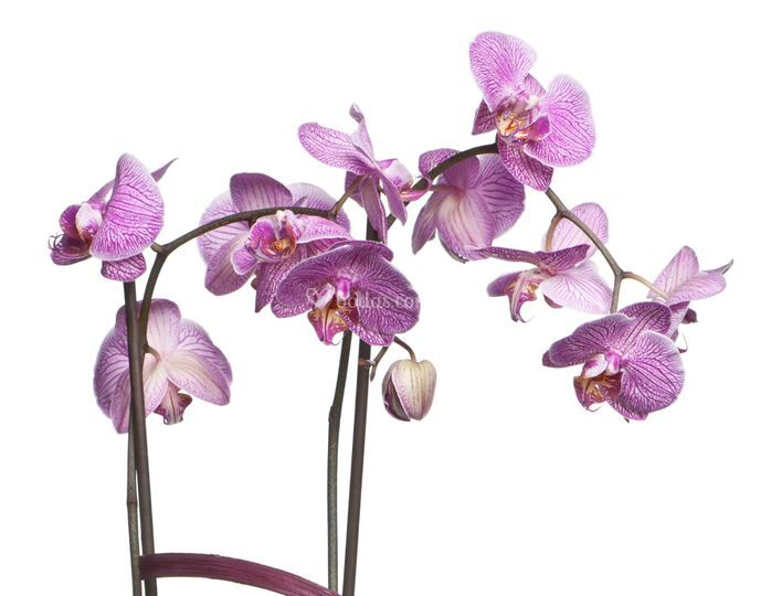 Orquidea lila rayada