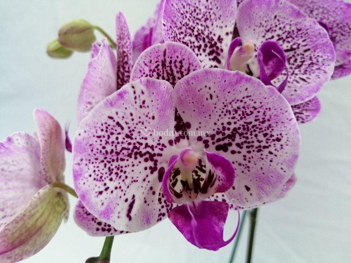 Orquidea tonos pastel lila