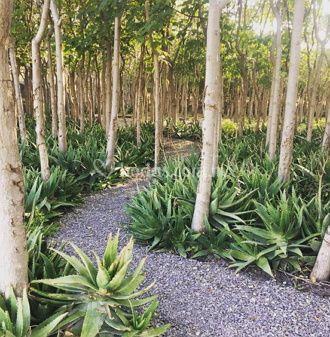 Bosque de Paulownias