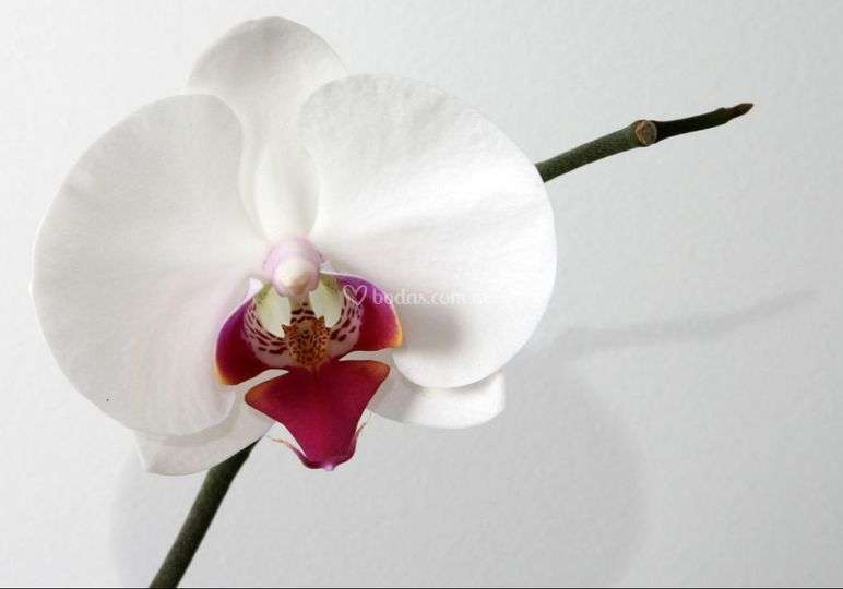 Orquídea centro rosa