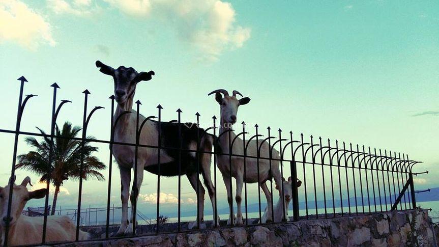 Se nos van las cabras