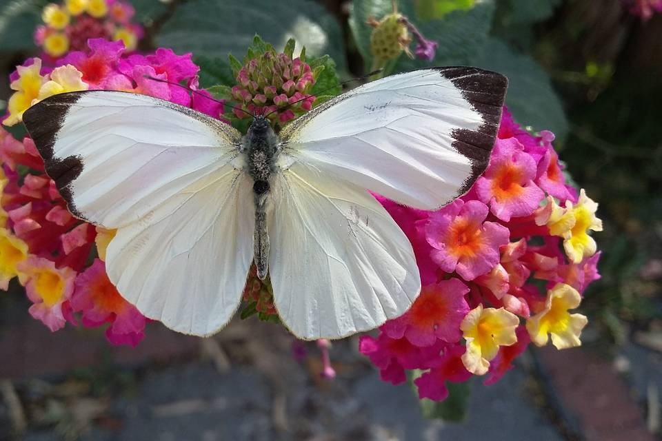 Mariposas que cumplen deseos