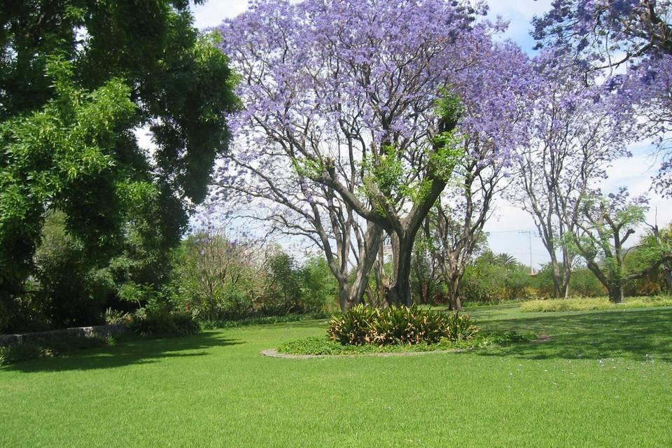 Jardin jacarandas